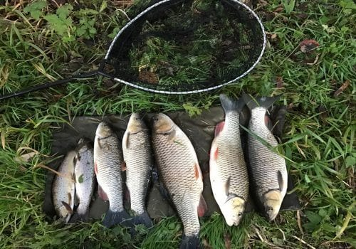Row of fish caught from the local river