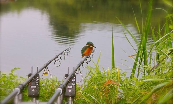 Perfect shot of a single kingfisher on a fishing rod