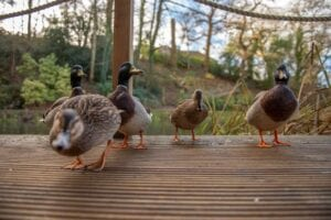 Ducks line up to say hello on a verandah in a holiday cottage with fishing